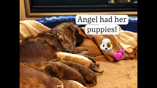 ⭐ Angel's puppies being born     * How to help your dog to whelp her puppies