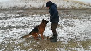 Подготовка собаки к сдаче зачёта по ОКД (кинологический центр Узынагаш)