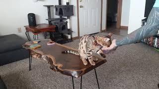 Tyson the Bengal cat