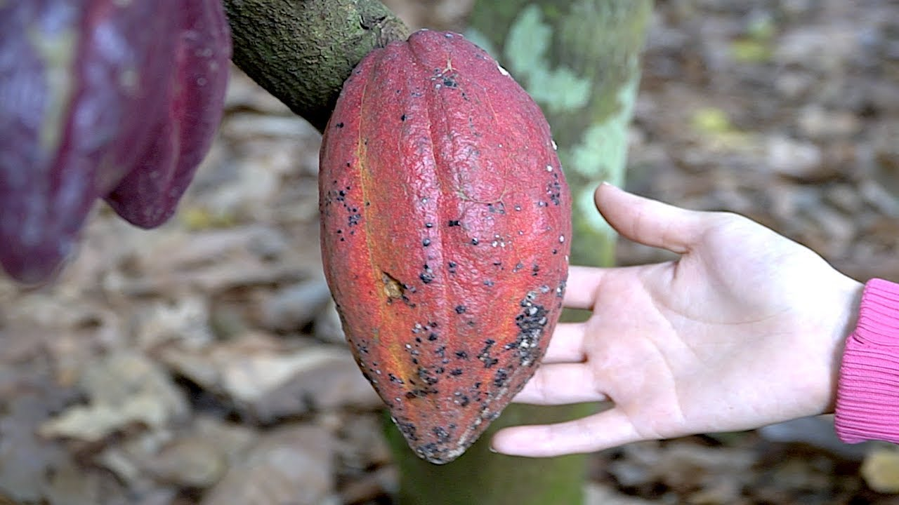 Looking for Cacao