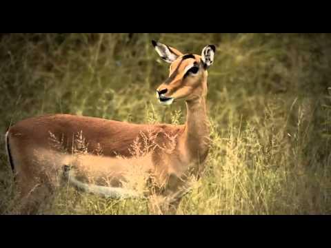Impala Alarm Calling - James Suter