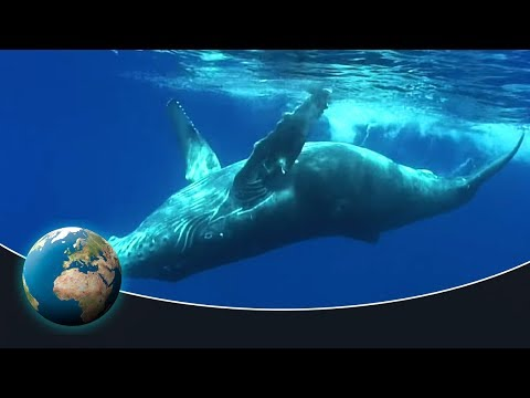 The fascinating world of the humpback whales