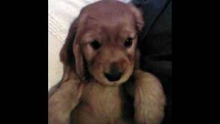 Cocker Spaniel Puppies Photos - Dogs