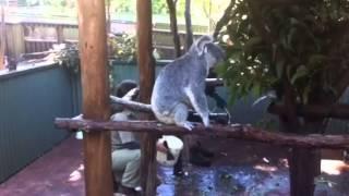 オーストラリアで撮影したコアラのおしっこシーンです。