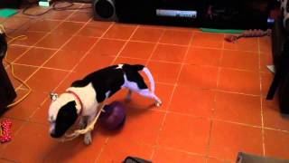 Copy Of Belle The Staffordshire Bull Terrier That Makes Up Games For Herself. So Cute!