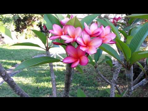 Frangipani red - Plumeria rosie  HD 13