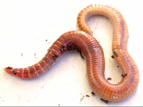 кольчатые черви. фото