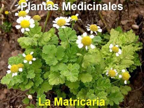 Plantas medicinales la matricaria youtube for Mezclas de plantas medicinales