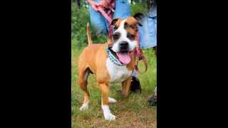 Bronco, A 2-year-old Boxer/pit Bull Mix Rescued In Manahawkin, Nj