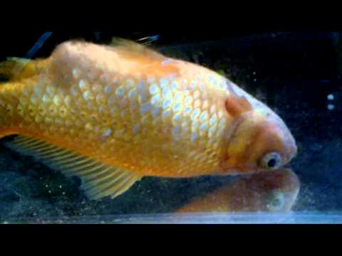 Goldfish Swimming Upside Down
