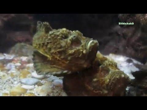 ปลากะรังหัวโขน Stone Fish เหมือนสัตว์โลกดึกดำบรรพ์ ปลาทะเล Sea Fish