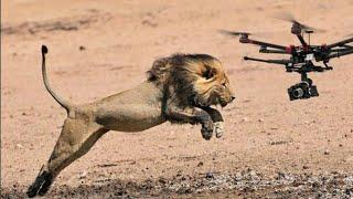 दखए जब शर क समन डरन ल जय गय त कय हआ  drone in animals  drones