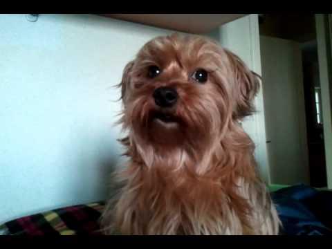 Il Mio Yorkshire Terrier
