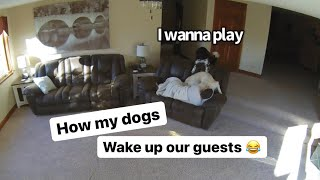 My Dogs Rudely Wake Up Our Guest