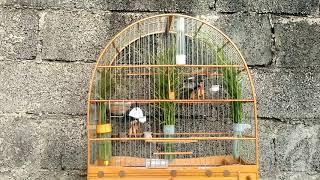Dica de manejo básico para Coleiro - RC Pássaros