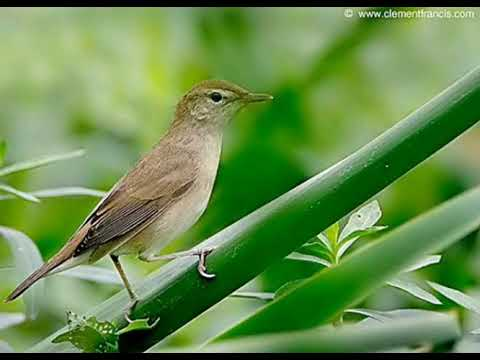 Suara Pikat Burung Kerakbasi Betina Cocok Untuk Pikat Burung Jantan Youtube