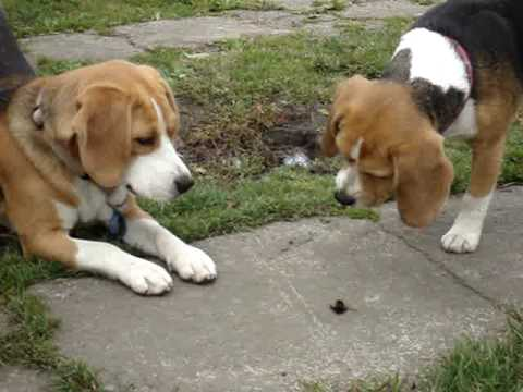 2 beagles howling at a bumble bee