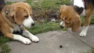 2 beagles howling at a bumble bee