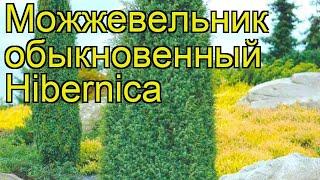 Можжевельник обыкновенный Hibernica. Краткий обзор, описание характеристик, где купить саженцы