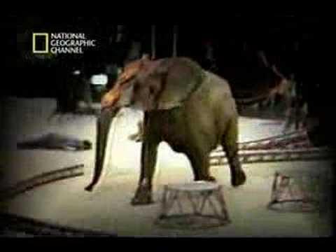 Ataque de Elefante no Hawai-NAT GEO