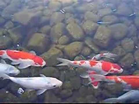 Koi fish swimming in nagoya youtube for Pool koi aquatics ltd