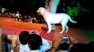 Labrador Dog Attacking Demo...