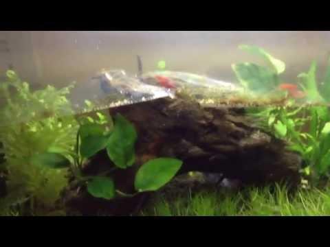 Aquascaping for beginners: Cherry Shrimp
