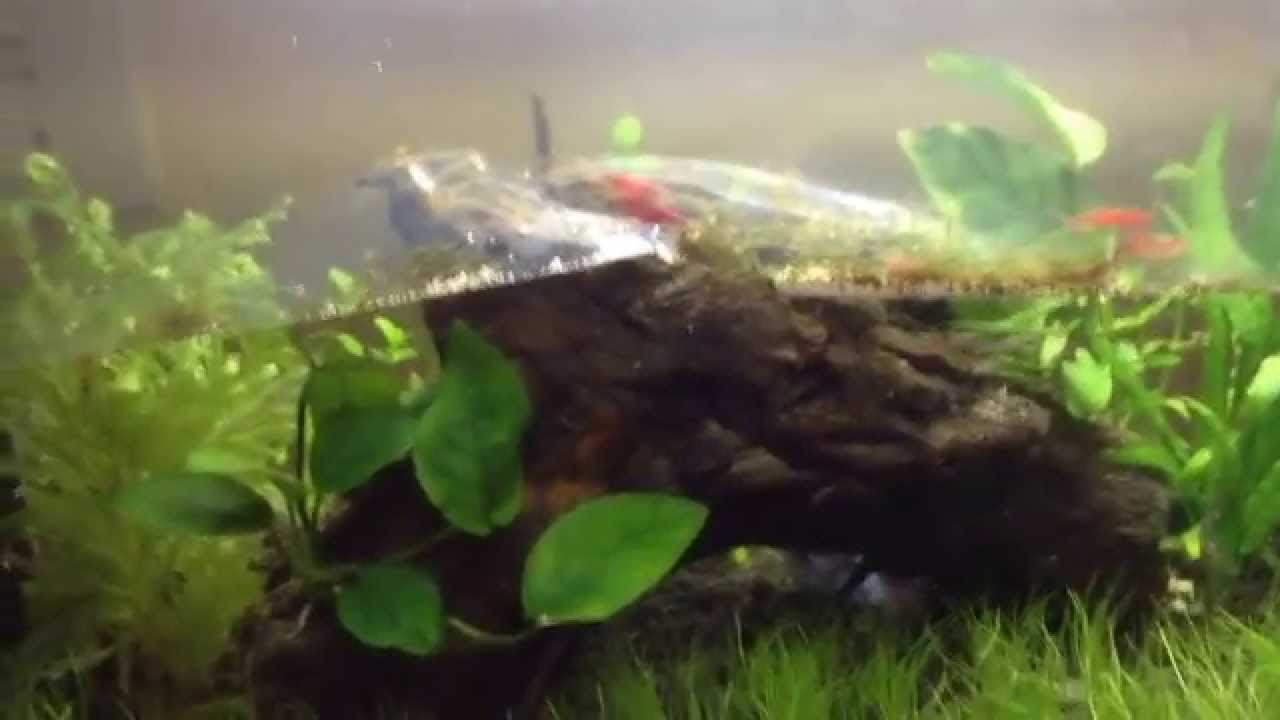 Aquascaping For Beginners: Cherry Shrimp