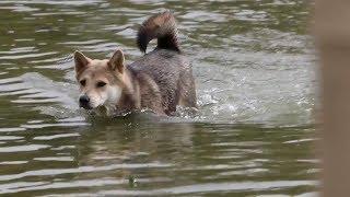 游泳发生意外,中华田园犬产生阴影不敢下水,主人决定帮它克服。发布中...
