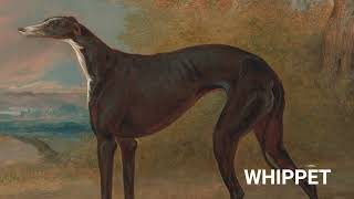 El WHIPPET el perro mas RAPIDO del MUNDO