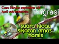 Suara Kicau Burung Sikatan Narsis Emas  Mp3 - Mp4 Download