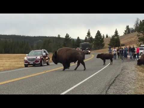 Bison (Buffalo) herd crossing road at Yellowstone National Park