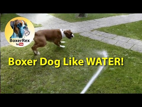 Boxer Dog Rex Like WATER! 😁