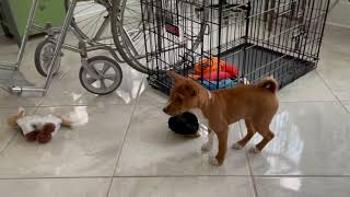 Basenji Brother & Sister Miss Each Other, Can't Wait to Play!