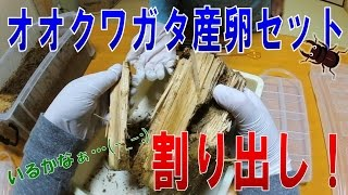 昆虫採集☆カブトムシ☆クワガタムシ オオクワガタ幼虫割り出し!】(くろ...