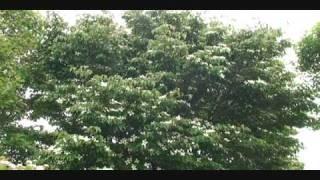 ヤマボウシ咲く野岳(雲仙天草国立公園)