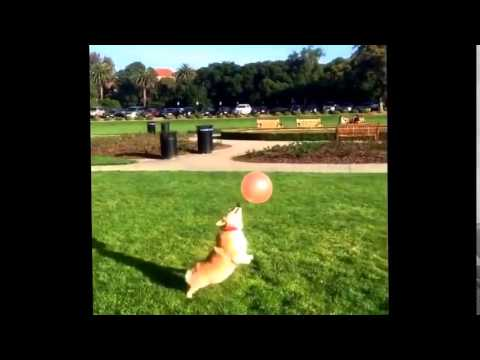 So Adorable.  Corgi Dog Plays With A Balloon.  :) bagz.co.uk