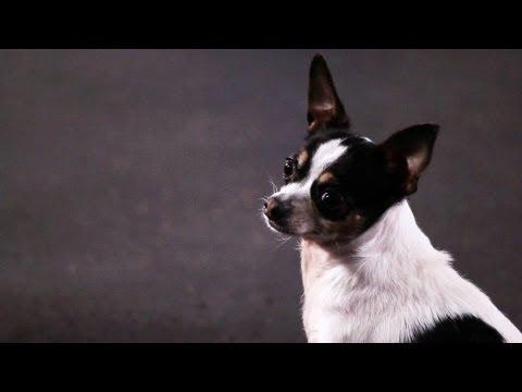 How to Teach a Chihuahua Tricks | Dog Tricks