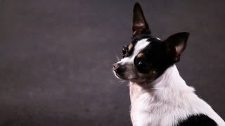 How To Teach A Chihuahua Tricks | Dog Tricks
