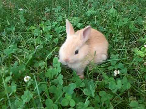 ginger   4 week old netherland dwarf rabbit   youtube
