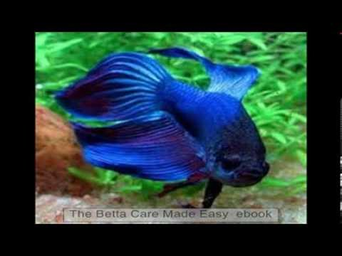 Betta fish care betta fish easy care youtube for Easiest fish to take care of