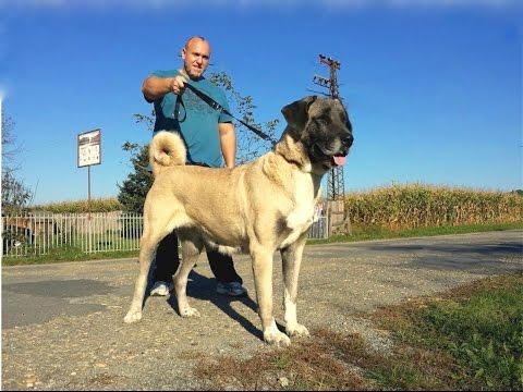 Jozo DOGS : KONDA - Kangal female 81 cm & Sibirija caucasen fimale 1,5 years.