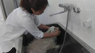 Cocoa,Japanese spitz Spay.Owner's Ig @smile2525keichan86 日本スピッ...