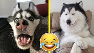 The FUNNIEST Things About Huskies (Funny Husky Dogs)