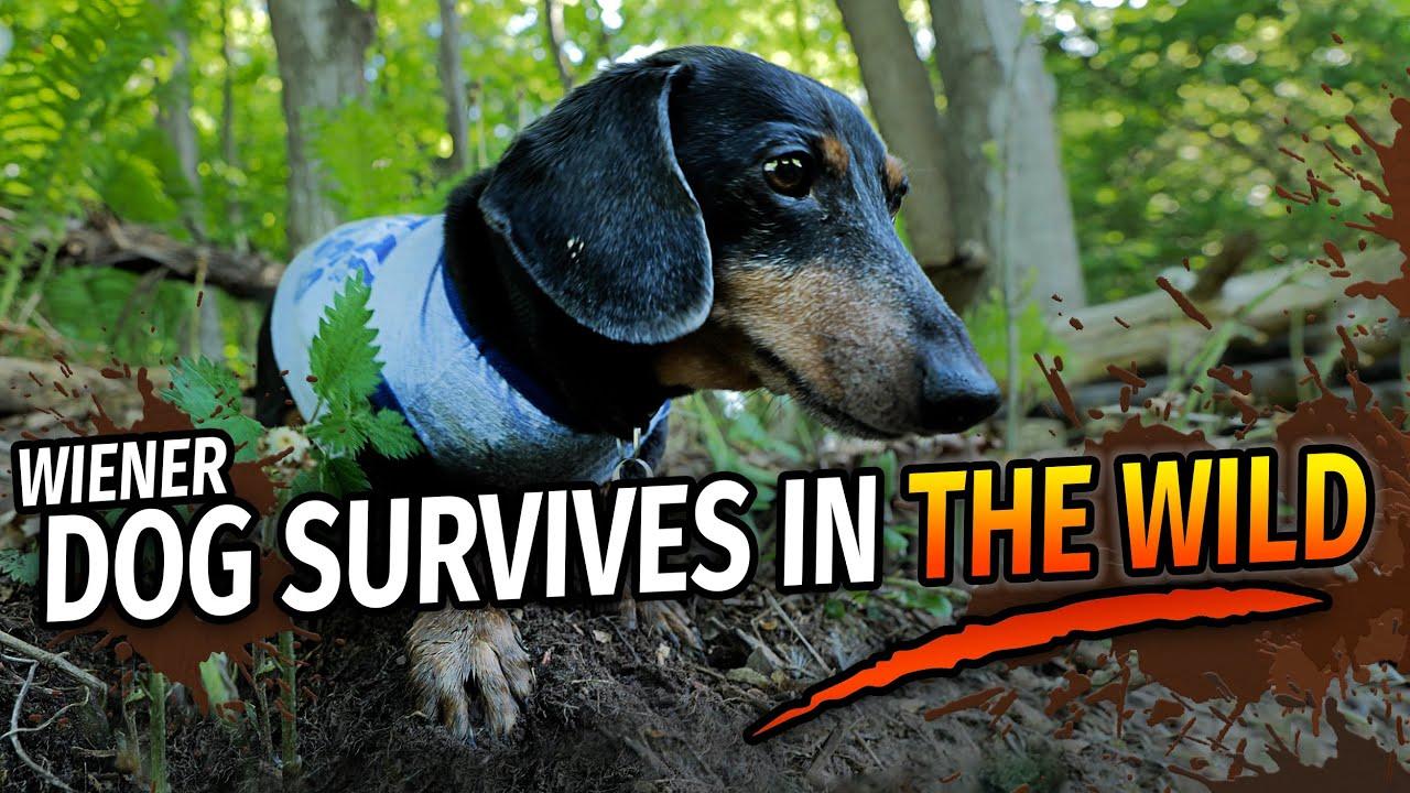 Download OAKLEY'S WILDERNESS SURVIVAL - Funny Talking Wiener Dog!