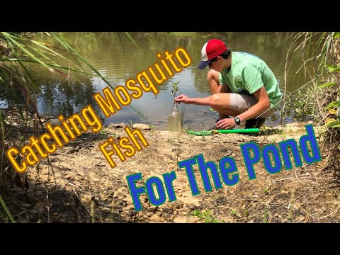 Catching Mosquito Fish For My Pond