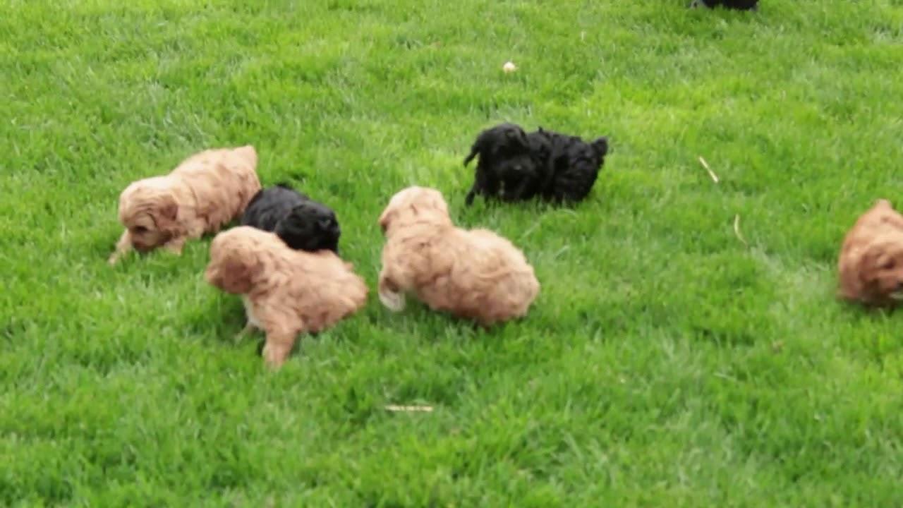 Cockapoo mesti svorį, 21 šunų veislės, kurios atsiranda kupini pudelis - Veisimas April