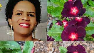 Conheça a Vinca Roxa – Planta Linda, Fácil de Cultivar e Produz Muitas Flores