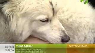 А собаки лучше  Экспедиция из Екатеринбурга берёт курс на Ямал