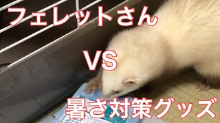 【ferret】She tried an overheat measures goods. フェレットさんの、...